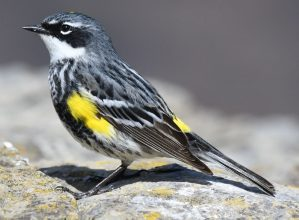 J Yellow-rumped Warbler-2
